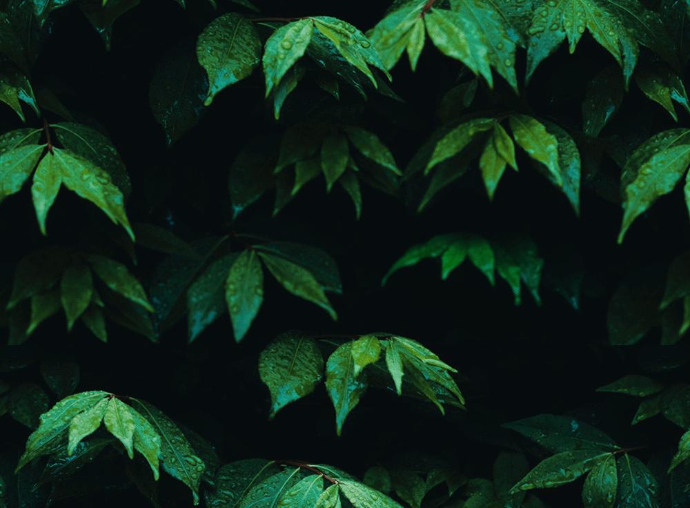 Tapet bladväxt